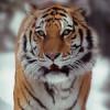 WWF'den Dikkat Çeken Bağış Kampanyası: The Tiger Running Challenge